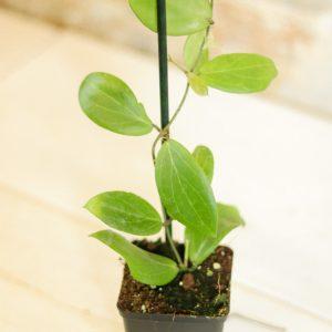Hoya camphorifolia L