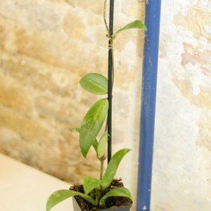 Hoya bangpla 3 spotted leaves L