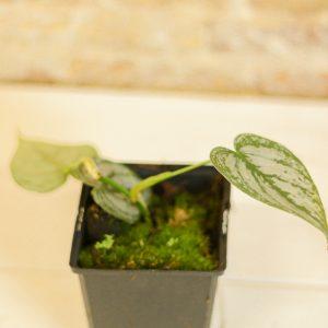 Philodendron brandtianum E