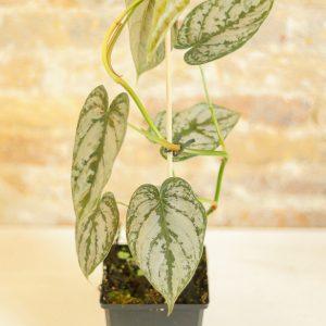 Philodendron Brandtianum B